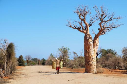 Baobab Madagaskar