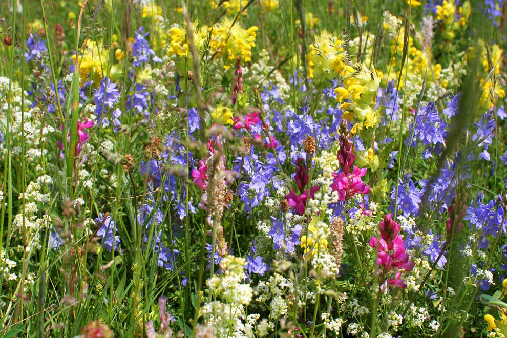 Gorsko cvetje meseca junija
