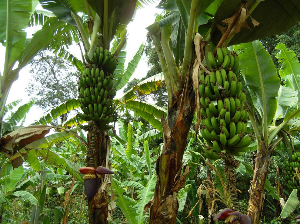 V spodnjem delu trekinga raste praktično vse. Od banan in manga do avokada, kakava in kave.