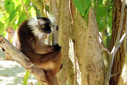 Lemurji na Madagaskarju