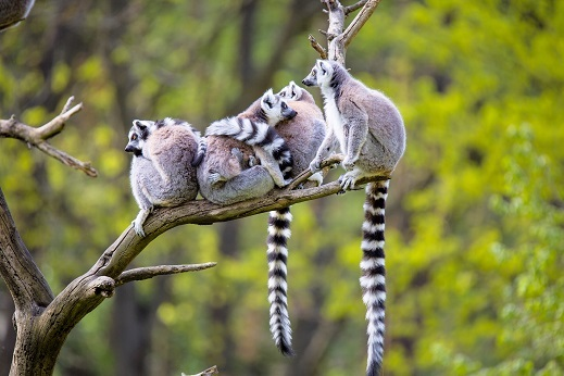 Skupina lemurjev na drevesu