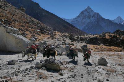Čar Nepala so tudi karavane jakov, ki še vedno predstavljajo glavno trgovalno pot čez visoke prelaze Himalaje.