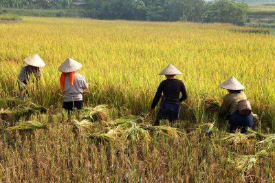 Ženske med enim od najpomembnejših opravil - žetvijo riža