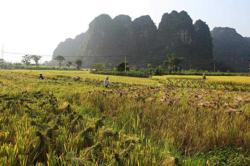 Riž je najpomembnejše hranilo v Vietnamu. Prostrana polja od severa do juga nas na našem potovanju neprestano spominjajo na to
