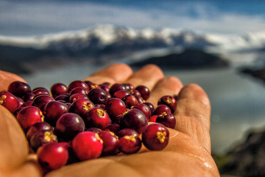 Znamenitosti Patagonija - sladke Calafate jagode