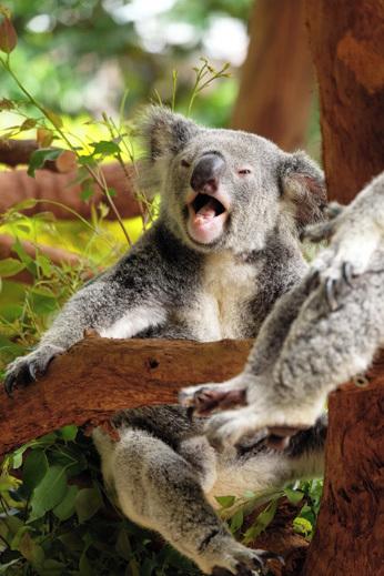 koala avstralija potovanje