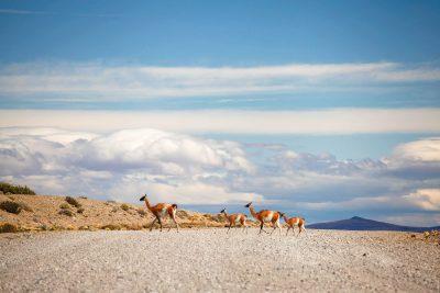 Gvanaki so podobni lamam in obenem glavni prebivalci patagonskih step